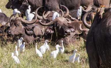 Egrets and Oxpeckers  hang with the Cape Buffalo.  They clean in exchange for food!