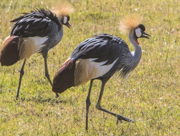 Golden Crowned Cranes certainly deserve their name.