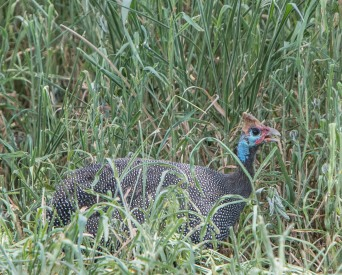 Guinea Fowl are very common in the grasslands, able to hide more easily from predators.