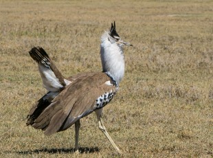 Kori Bustard advertising for a mate