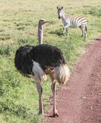 Common Ostrich; fast and mean