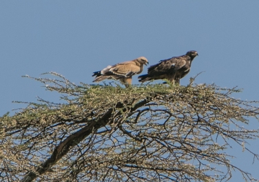 A tawny Eagle pair high in an Acacia Tree.