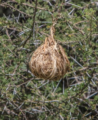 Weaver's nest hangs amid the thorns of the Acacia tree.