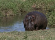 Deceptive; one of the fastest and meanest animals in Africa