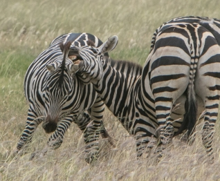 Zebras fighting or playing
